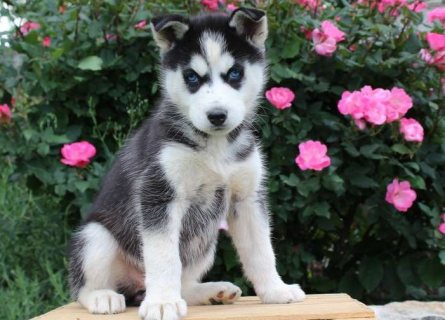 ,Lovely Siberian Husky Puppies For Sale