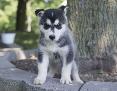 , Siberian Husky Puppies For Sale