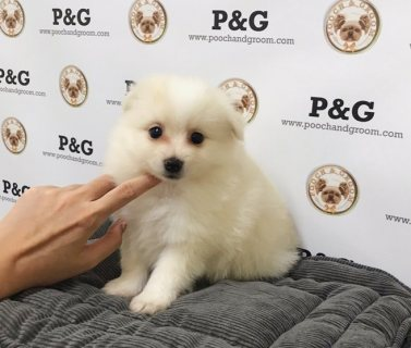 صور Cute Pomeranian Puppies for Sale 2