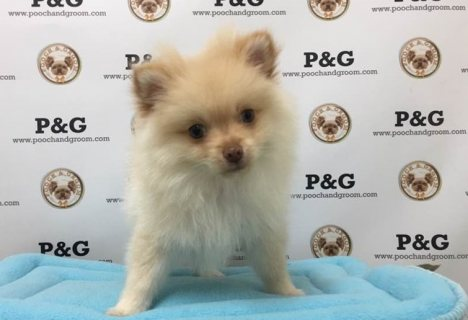 صور Cute Pomeranian Puppies for Sale 3