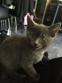 Russian Blue Kittens for sale