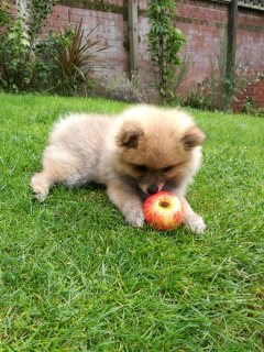 صور Well Trained Pomeranian Puppies For Sale. 1