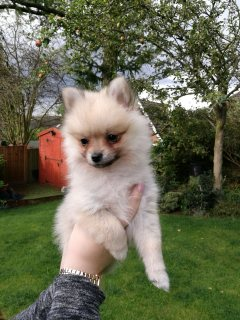 صور Well Trained Pomeranian Puppies For Sale. 2