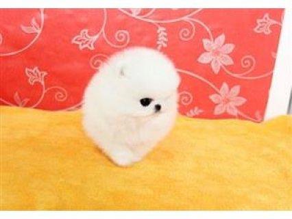 Good Temperament Pomeranian Puppies For Sale.