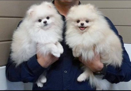 Pomeranian  Boys And Girls for sale