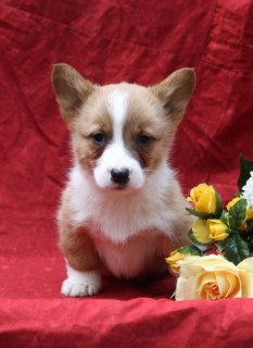 Welsh Corgi Pembroke Dogs for sale