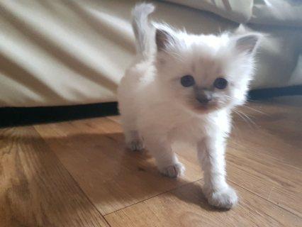 منزل لطيف تدرب القطط Ragdoll للبيع.