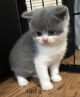 ذكر وانثى البريطانية القطط قصيرة الشعر للبيع.