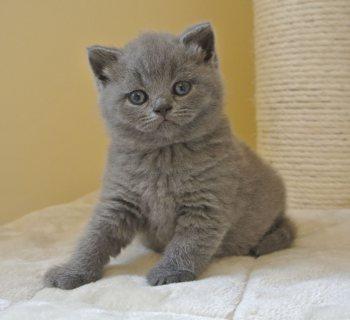 القطة البريطانية قصيرة الشعر المتاحة للبيع.