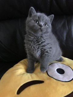 جميلة القطط البريطانية قصيرة الشعر للبيع.