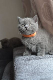 البريطانية القطط قصيرة الشعر للبيع.