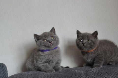 ذكر وانثى البريطانية القطط قصيرة الشعر للبيع. ز