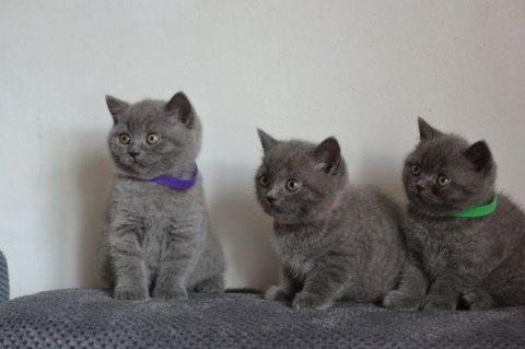 القطة البريطانية قصيرة الشعر المتاحة للبيع. م