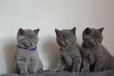 البريطانية الأصيلة قصيرة الشعر القطط للبيع. ن