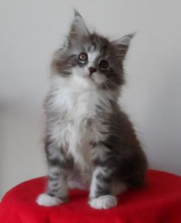 Available Maine Coon Kittens available