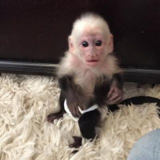 Playful Capuchin Monkeys For sale