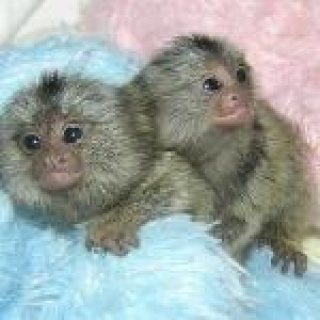 Cute male and female Marmoset  Monkeys For sale
