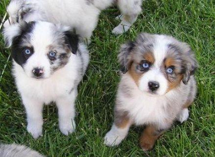 Australian Shepherd Puppies For Re-Homing