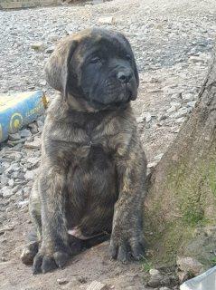 Adorable Mastiff Puppies for sale