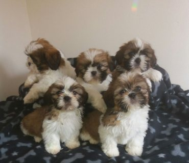 Shih Tzu Puppies Ready Now.