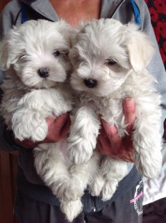 Pure Super Tiny Akc Maltese Boy Ready Now