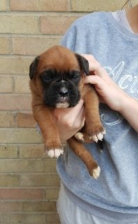 صور Cute Boxer Puppies For sale 1