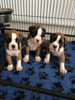 Stunning Red And White Boxer Puppies