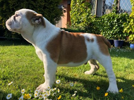 Reduced AKc Bulldog Gold Tested & Champion Lines