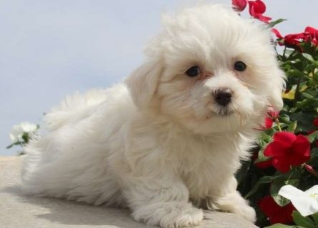 Quality raise Maltese puppies for sale