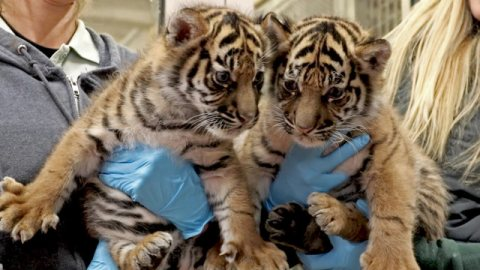 Trained Tiger cubs for sale