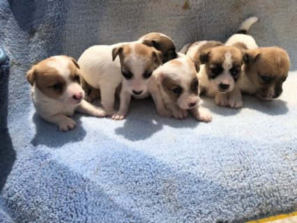 Beautiful Jack Russle Puppies
