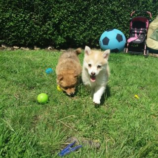 Gorogous Pomsky Puppy For Sale