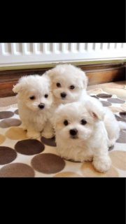Beautiful Miniature Maltese Available