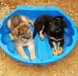Stunning Germen Sharpard Puppies