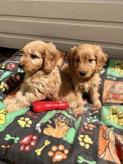 F1 Cockapoo Puppys Pra Clear. **ready Now**