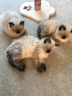 Stunning Ragdoll Kittens Ready Now
