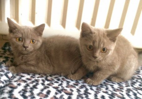 Lilac British Shorthair Kittens