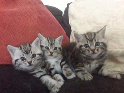 Siberian X Kittens Ready Now.
