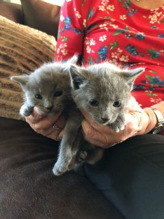 Gccf Reg Full Pedigree Russian Blue Kittens