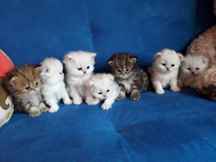 Beautiful Chinchilla Persian Kittens.