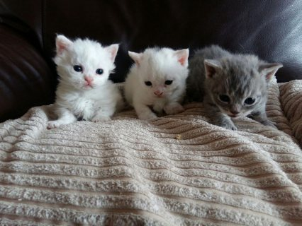 Standard Munchkins Kittens