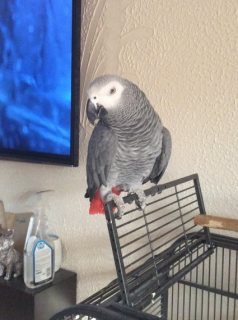 African Grey Parrot In Need Of A Good Home