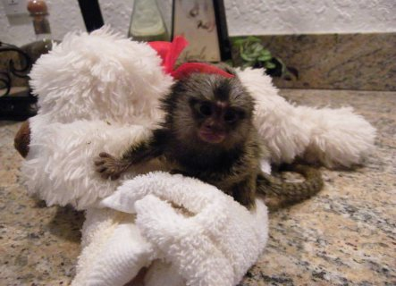 Well trained hand raised marmoset monkey available for home no