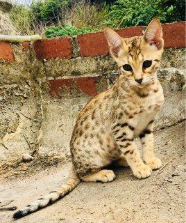 Beautiful Savannah Kittens Available For Sale