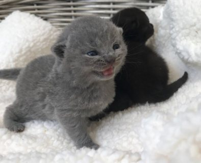 Cute British Short Hair Kittens For Sale