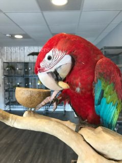 Hand Reared Baby Green Wing Macaw Parrot For Sale