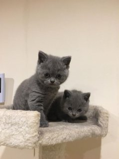 l ..Cute Male and female British Short Hair Kittens For Sale