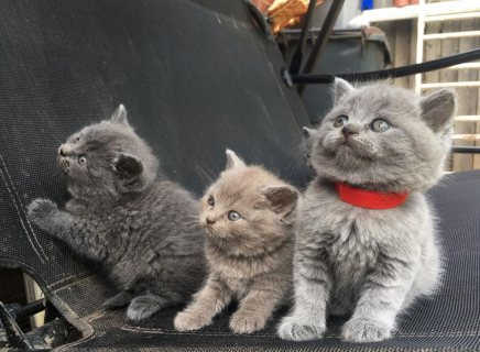 k ..Cute Male and female British Short Hair Kittens For Sale