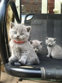 h ..Cute Male and female British Short Hair Kittens For Sale