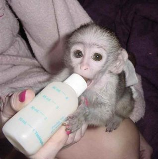 d...Male and female Capuchin monkeys for sale
